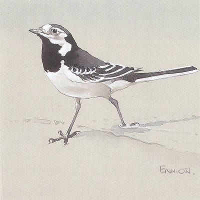 Pied Wagtail painted for Shell by Eric Ennion.